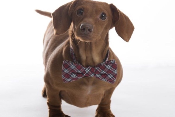 Dennis the Miniature Dachshund Loses 75 Percent of His Body Weight