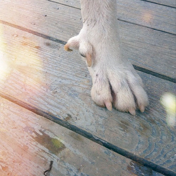 Dogs sometimes have double dewclaws.