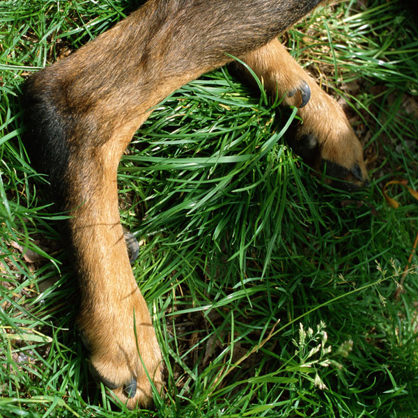 Dog dewclaws sometimes appear on a pup's hind legs.
