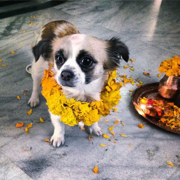 Nepal S Kukur Tihar Festival Is Diwali For Dogs