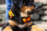Nepal's Kukur Tihar Festival Is Diwali for Dogs