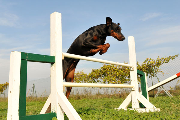 Get to Know the Doberman Pinscher: Semper Fi-do!
