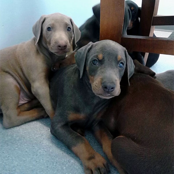 Two Doberman puppies, just hanging out!