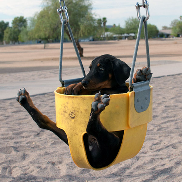 A Doberman Puppy on a swing.