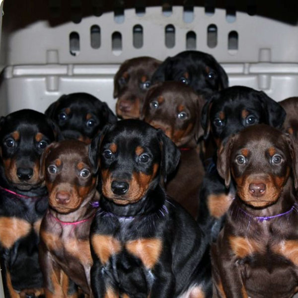 So many Doberman Puppies!