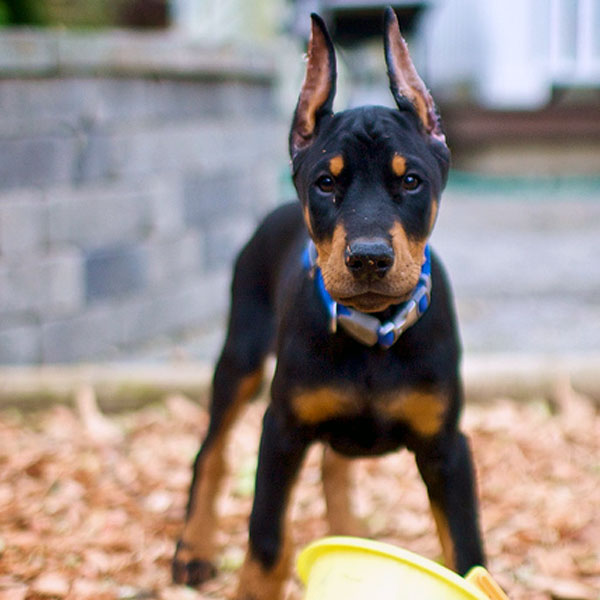 A Doberman Puppy.