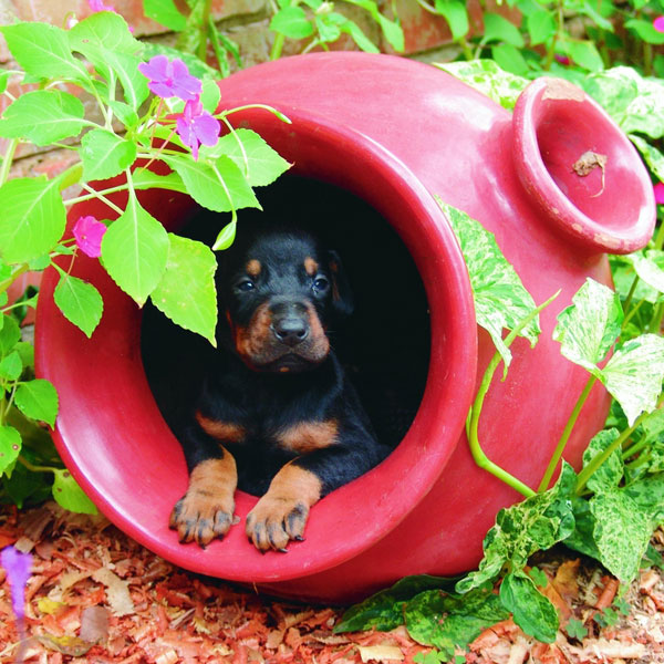 Cute Doberman Puppy