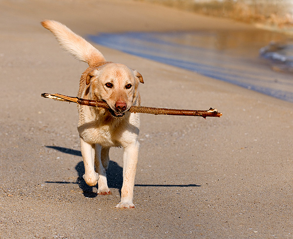 A senior dog plays with a stick on the beach.