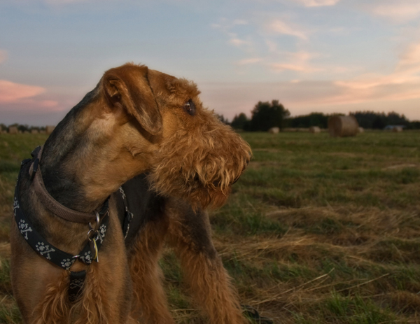 get to know the airedale terrier king of terriers. Black Bedroom Furniture Sets. Home Design Ideas