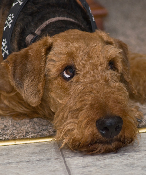 Get To Know The Airedale Terrier King Of Terriers