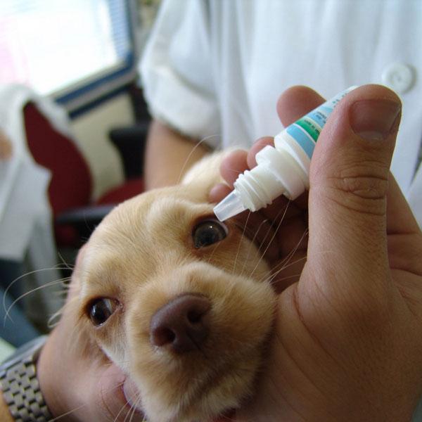 Minor Eye Infection Dog