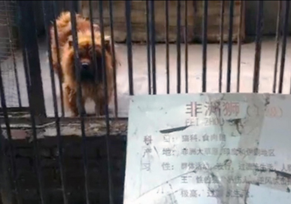 """Busted! A """"Lion"""" in a China Zoo Is Really a Tibetan Mastiff"""