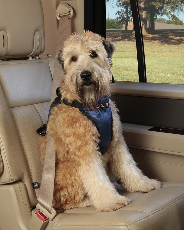 Wheaten Terrier In Car Seat Subaru