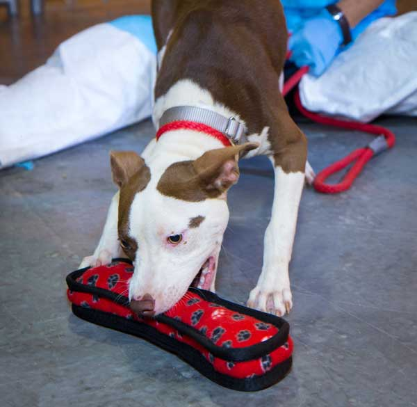 How I Helped the Pit Bull Victims of a Huge Dog-Fighting Ring