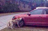 Doggie Vengeance in China: Man Kicks Dog, Pack Attacks Car