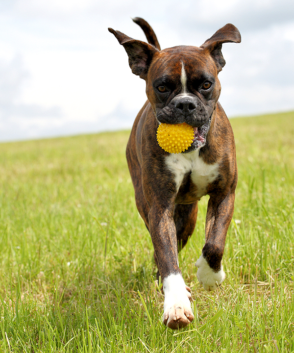 Is Cropping Dogs Ears And Docking Their Tails Cruel We Ask The Experts