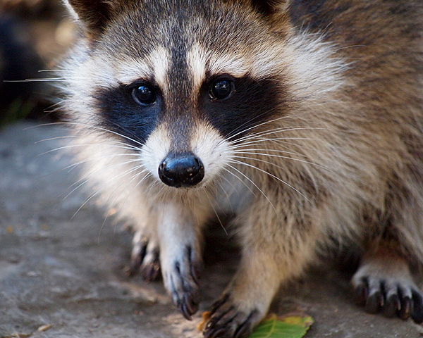 He's cute, but he's treacherous. Raccoon by Shutterstock.