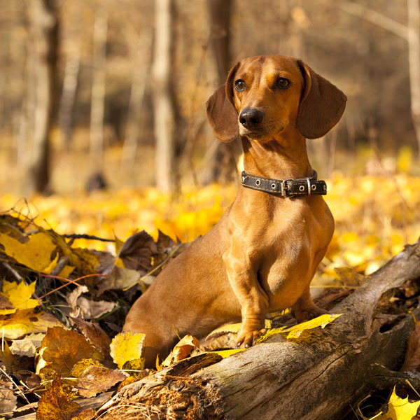 A Dachshund is a small dog that doesn't shed — much.