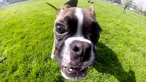 Duncan the Two-Legged Boxer Becomes a YouTube Video Star