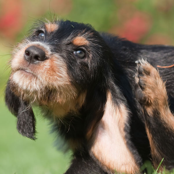Can Humans Get Ear Mites From Dogs