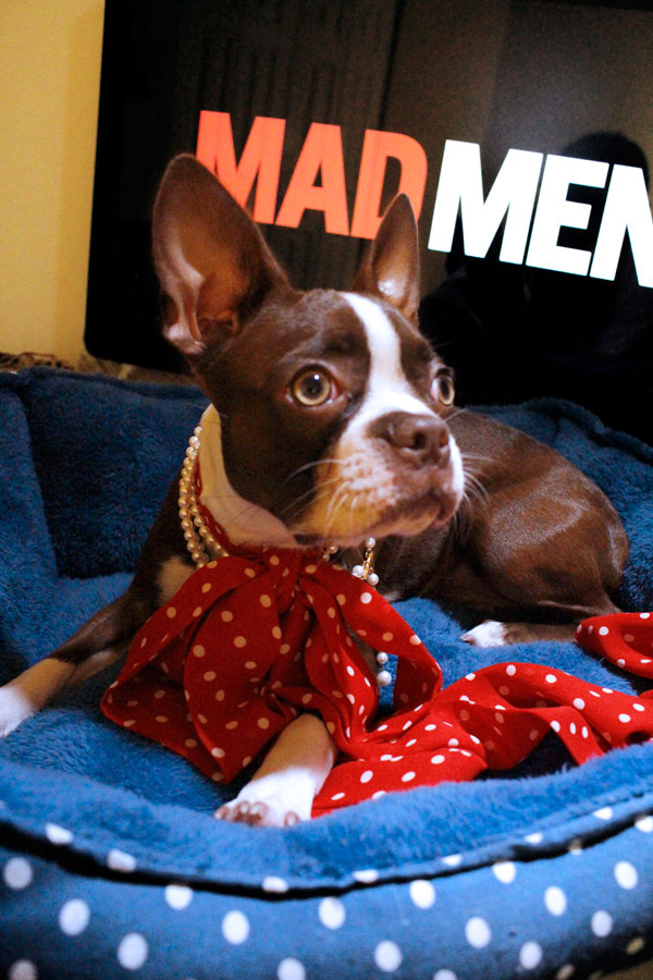 "Brie the Boston Terrier Dresses Up as ""Mad Men"" Characters"