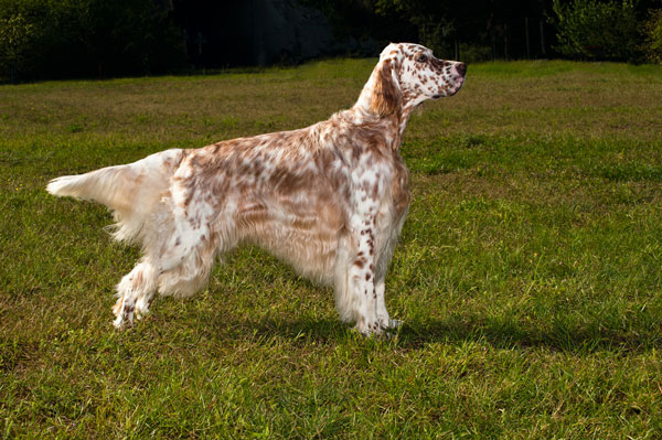 Get To Know The English Setter
