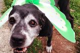 An Abandoned Senior Dog Becomes a Hospice Foster Then a Family Member