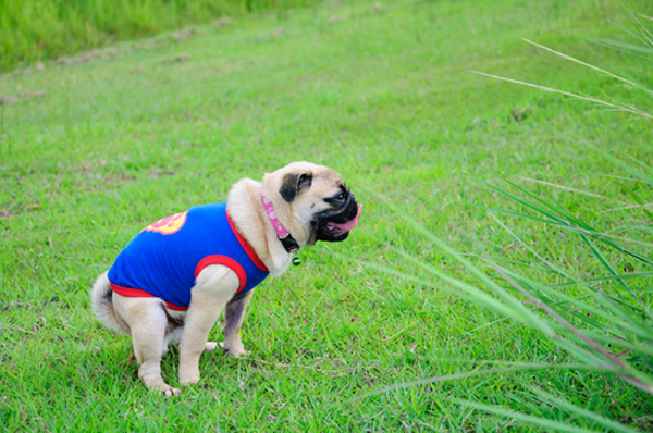 I Went On A Charity Walk With My Pug And He Drove Me Nuts