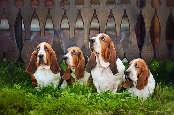 Get to Know the Basset Hound: Sad-Faced but Happy-Go-Lucky!