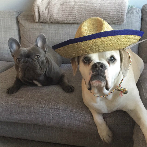Manny's siblings, Frank and Leila, share a sombrero. (Photo via @frank_the_funnyfrenchie)