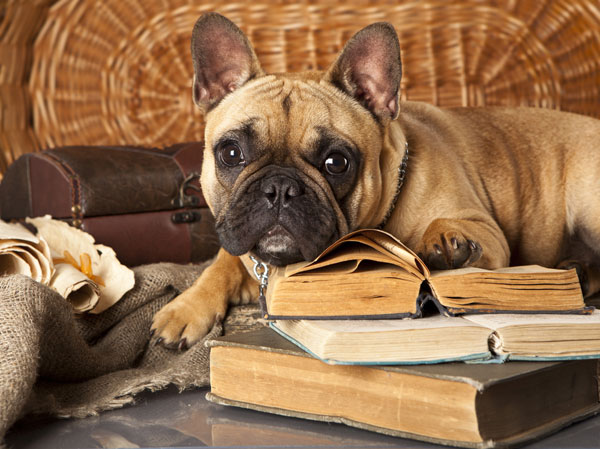 Get to Know the French Bulldog: Clown in the Cloak of a Philosopher