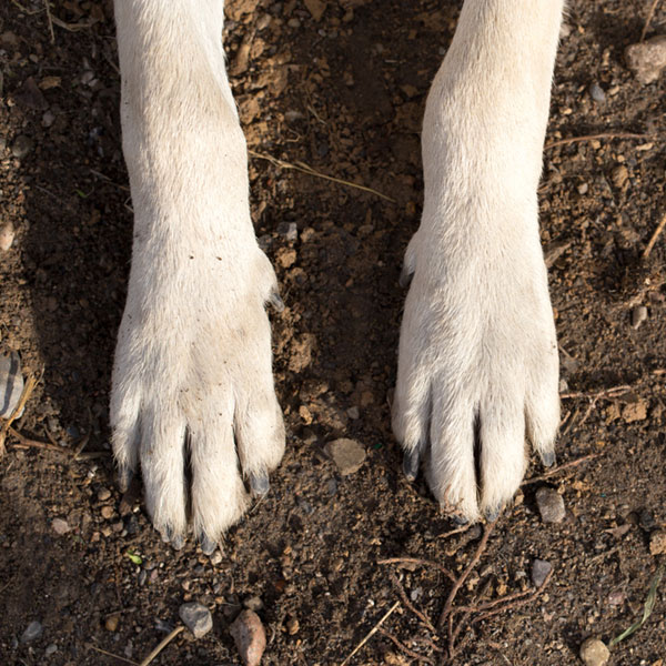 A close up of dog paws on a white dog.