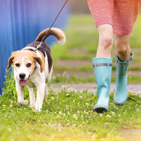 A beagle walks with a human in the rain.