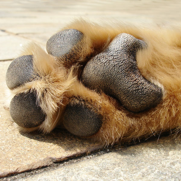 A close up of a dog paw.