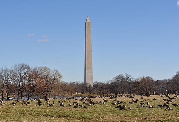 National Park Service Wants to Release the Hounds in Fight Against Goose Poop