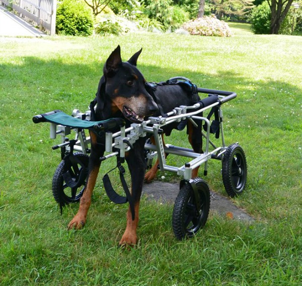 Eddie S Wheels Improves Life For Disabled Dogs