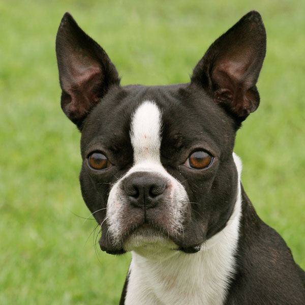 Under Pressure: Symptoms and Treatment for Glaucoma in Dogs