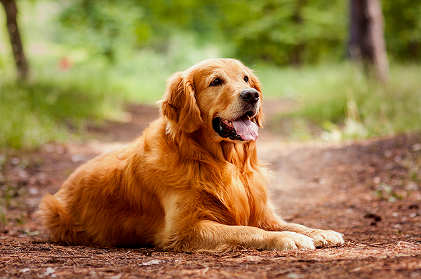 A Massive New Study Puts $25M Towards Tracking Cancer in Golden Retrievers