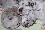 Great Dane Puppy Pictures: Because We Can