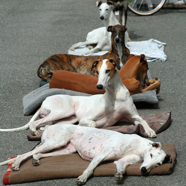 Get To Know The Greyhound Speeding Couch Potato