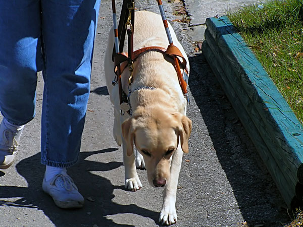 The 10 Biggest Misconceptions About Guide Dogs for the Blind
