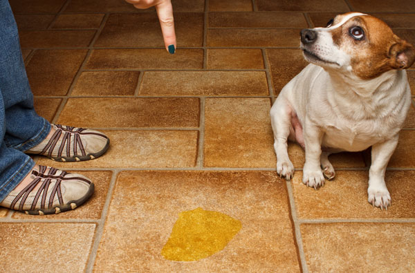 Are Small Dogs Less Obedient Than Large Dog Breeds?