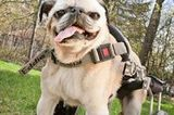 Eddie's Wheels Improves Life for Disabled Dogs