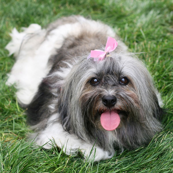 Get to Know the Havanese: The Cutie from Cuba