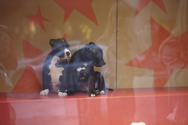 Sf Spca Breaks Adoption Record With Holiday Windows 2013