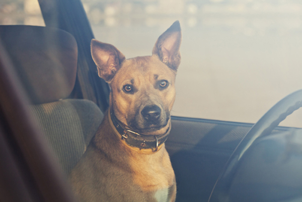 Dogs Suffering Inside Hot Cars: Pet Patrol Puts a Stop to It
