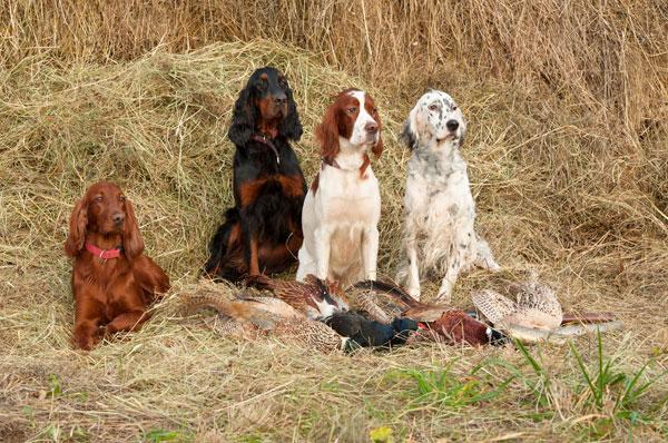 Pheasant Dog Training