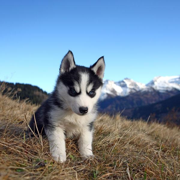 Cute Husky Dog Puppy