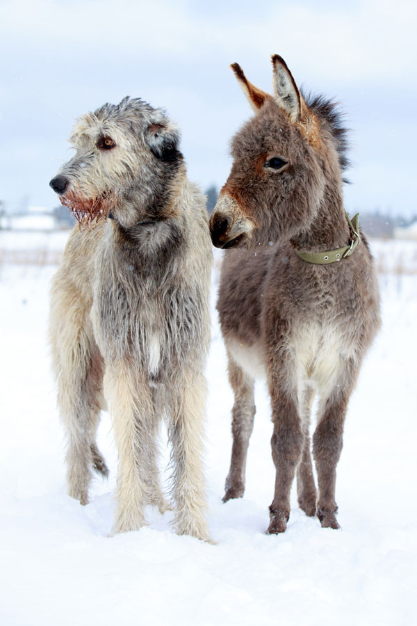 Irish Wolfhound Dog Breeds