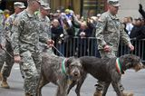 Get to Know the Irish Wolfhound: The Majestic Wonder